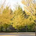 Photos: 黄葉の銀杏並木