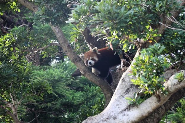 木の上からレッサーパンダ登場