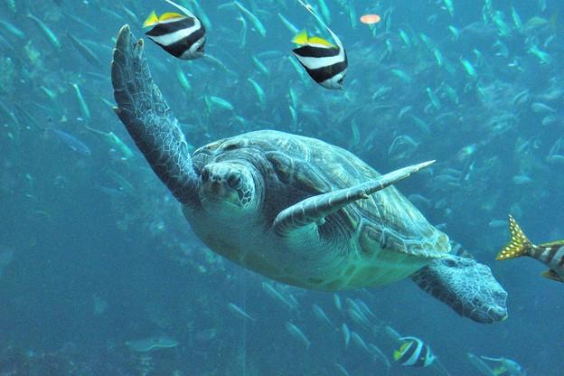 悠々泳ぐウミガメさん
