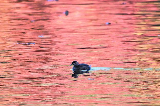 紅く染まる水面にカイツブリ