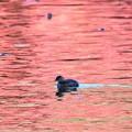 Photos: 紅く染まる水面にカイツブリ