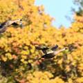 黄葉の林を飛ぶ
