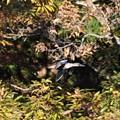 林の中を飛ぶハシビロガモ 今季初確認♪