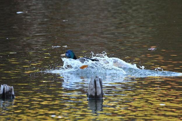 Photos: ハシビロガモ着水