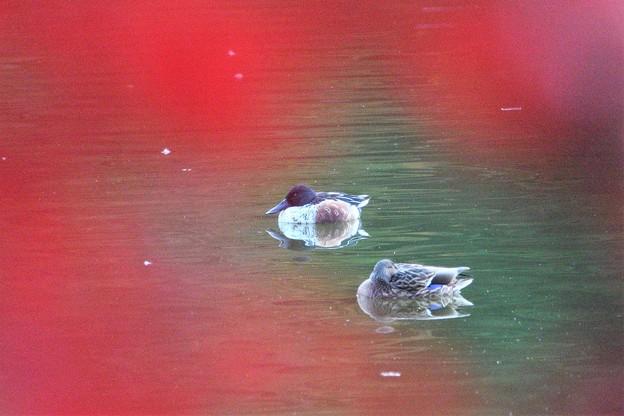 紅葉の池で休むハシビロガモ