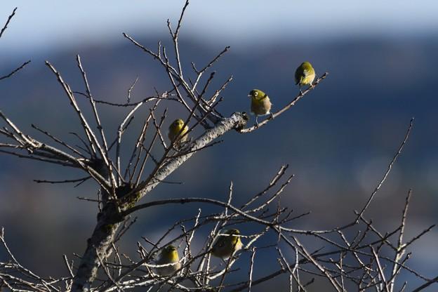 枝にとまるメジロ
