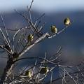 Photos: 枝にとまるメジロ