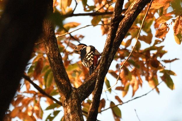 色づく林にアカゲラ
