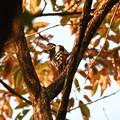Photos: 色づく林にアカゲラ