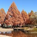 Photos: 黄葉のメタセコイア