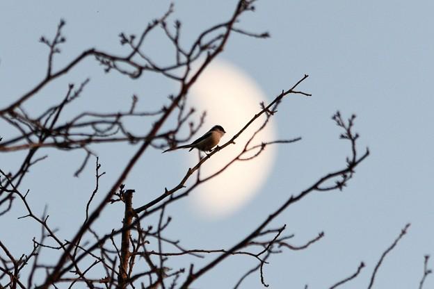 夕刻の月とエナガ