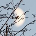 Photos: 夕刻の月とエナガ