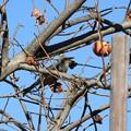 柿をみつめるヒヨドリ