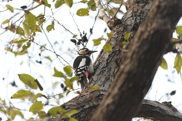 尾羽で支えて幹にとまるアカゲラ