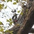 Photos: 尾羽で支えて幹にとまるアカゲラ