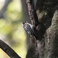 立枝にとまるコゲラ