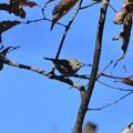高い枝にキクイタダキ