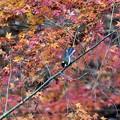 紅葉にシジュウカラ(2)