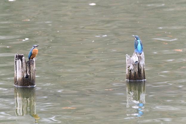 杭にとまるカワセミ2羽