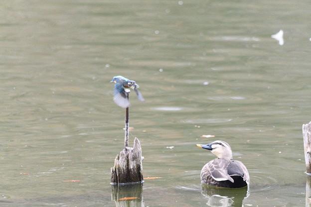 飛び出すカワセミ を見るカルガモ