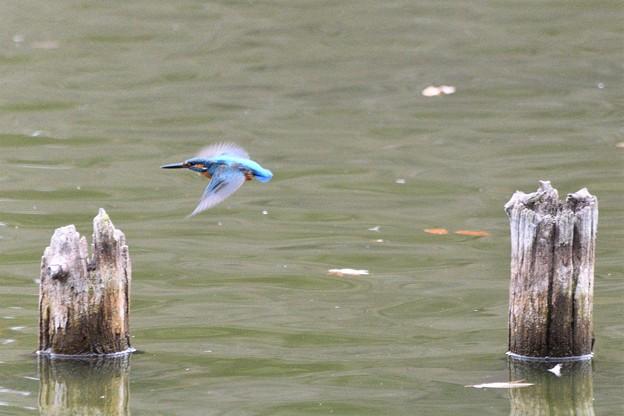 杭の間を飛ぶカワセミ