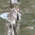 お魚獲って杭にとまるカワセミ(1)