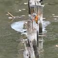 お魚獲って杭にとまるカワセミ(2)