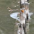 お魚獲って杭にとまるカワセミ(3)