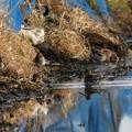 Photos: タシギの群れ