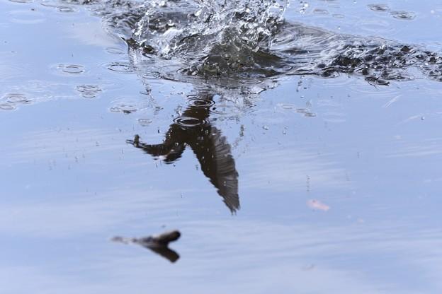 水面から飛び出すカワセミ水鏡・・・