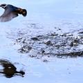 水面から飛び出すカワセミ