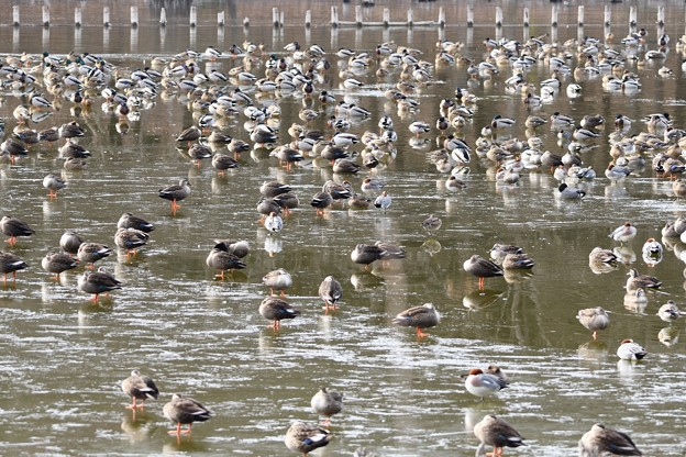 結氷の公園池