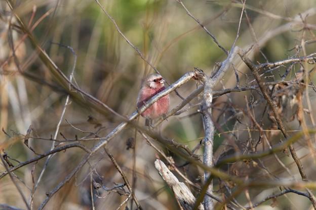 藪のなかに赤い鳥