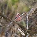 Photos: 藪のなかに赤い鳥