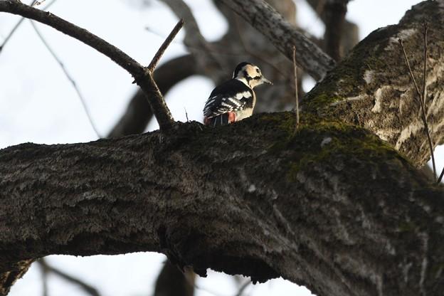 Photos: 高い木の上にアカゲラ発見