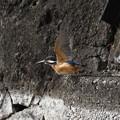 Photos: カワセミ飛び出し