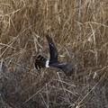 Photos: 遊水地堤防下を飛ぶ