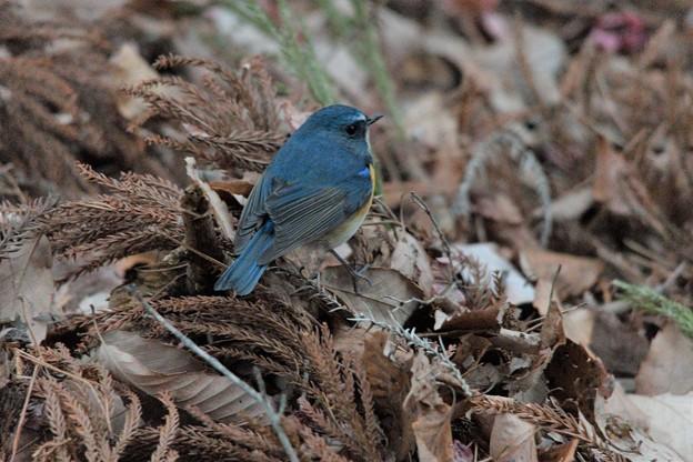 落ち葉に青い鳥