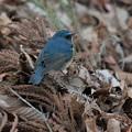 Photos: 落ち葉に青い鳥