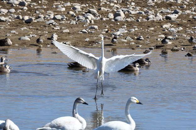 白い鳥たち