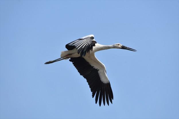 青空を飛ぶコウノトリ