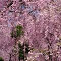 圧巻の枝垂れ桜