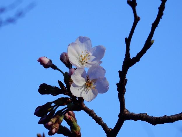 Photos: ソメイヨシノ開花