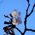 写真: ソメイヨシノ開花