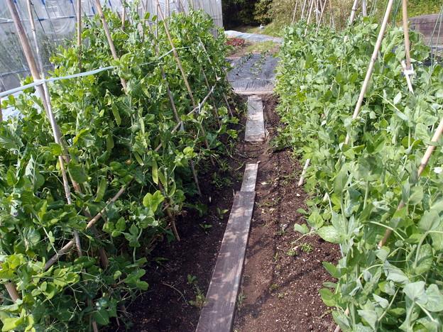 2018-05-17豌豆