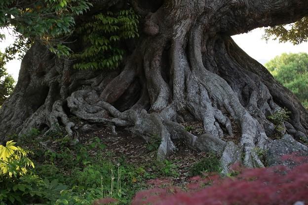 樹齢 700年