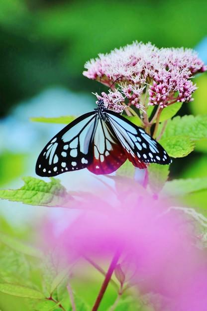 Photos: ヨツバヒヨドリが大好きです。