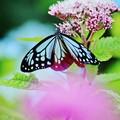 Photo: ヨツバヒヨドリが大好きです。