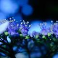 Photos: 紫陽花