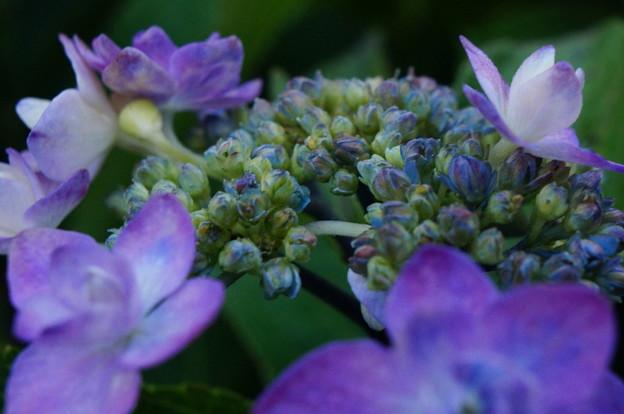 Photos: ご近所の紫陽花